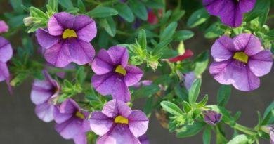 Jak na pěstování nádherných petúnií