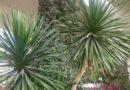 Milujete stále zelené pokojové rostliny? Přinášíme čtyři tipy na pěstování dracény