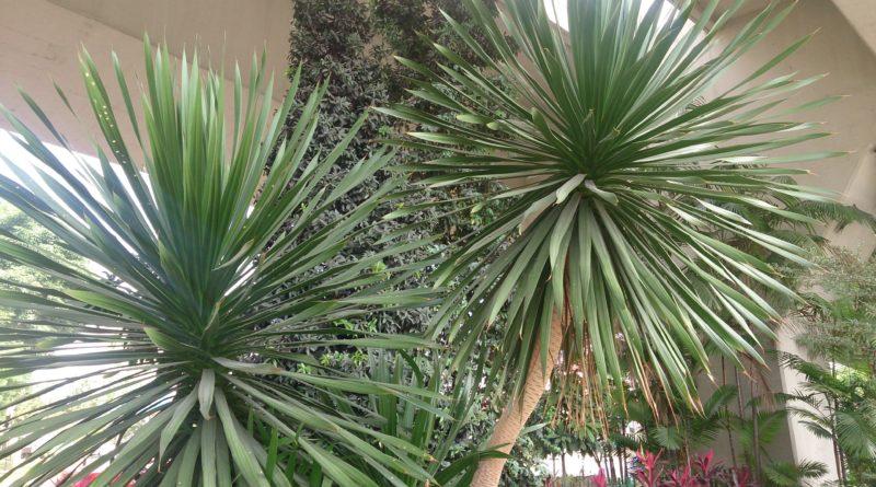 Stále zelené pokojové rostliny