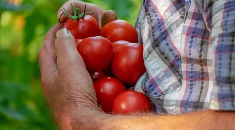Zásady pěstování rajčat na balkoně. Mějte svou vlastní úrodu