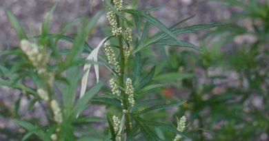 Jak pěstovat estragon, aromatickou bylinku?